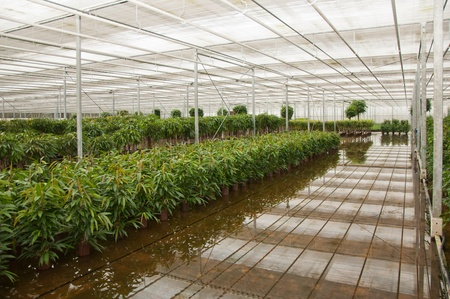 Houseplants in the greenhouse of a Dutch hydroculture plant nursery. photo