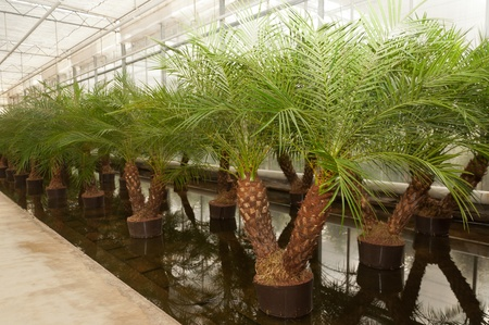 soilless cultivation: Houseplants in the greenhouse of a Dutch hydroculture plant nursery.