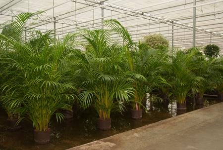 Kamerplanten in de kas van een Nederlandse hydrocultuur kwekerij.
