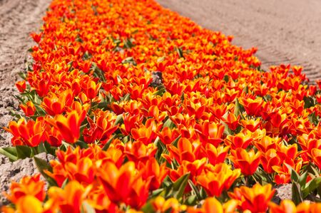 A flowerbed of orange flowering tulip bulbs in a Dutch field  photo