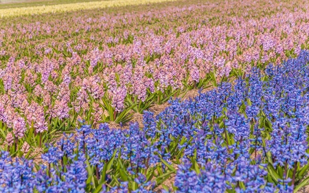 Pink and blue-purple flowering hyacinths at a bulbs field of a nursery in the Netherlands  photo