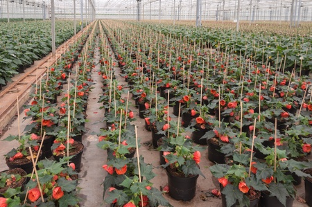 on aggregate: Red blooming Abutilon houseplants in a Dutch plant nursery  Stock Photo