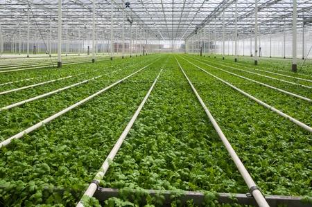 kassen: Jonge planten groeien in een zeer grote kwekerij in Nederland Stockfoto