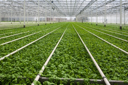 the greenhouse: Young plants growing in a very large plant nursery in the Netherlands