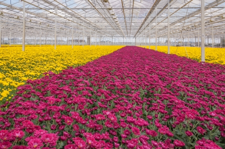 invernadero: De efecto invernadero avanzada holandesa con crisantemos de colores listos para la cosecha Foto de archivo
