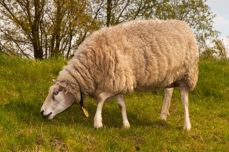 One sheep in winter coat is grazing on a dike in the Netherlands  Stock Photo - 13329024
