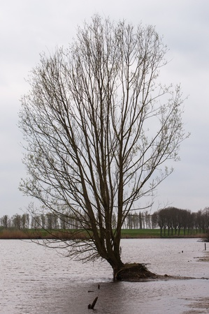 One lonely tree in a part of a flooded polder in the Netherlands  photo