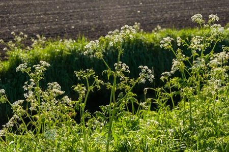 queen anne   s lace: Cow Parsley or Anthriscus sylvestris at the edge of a ditch in springtime