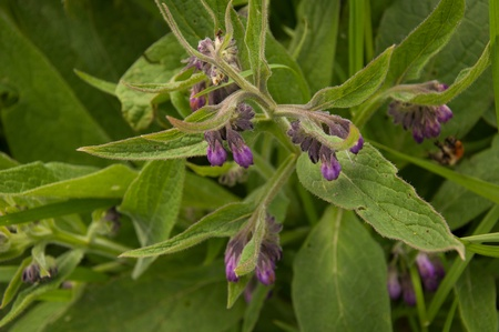 Purple flowering common comfrey in its natural environment. photo