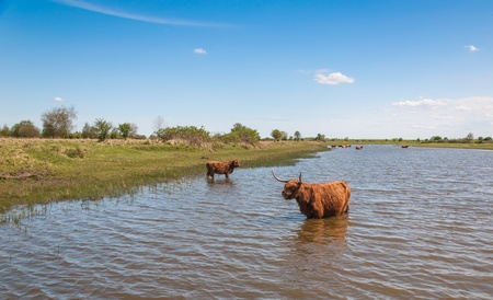 Highland cows in winter coat wading in the water. It is springtime now. photo