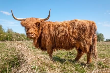 curiously: Curiously looking Highland cow with a thick coat.
