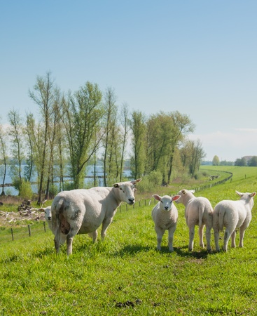 Mother sheep and three little woolly lambs on top of a dike in the Netherlands  It is springtime  photo