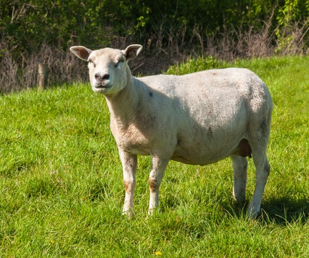 Female sheep standing on grass is looking searchingly Stock Photo - 13450893