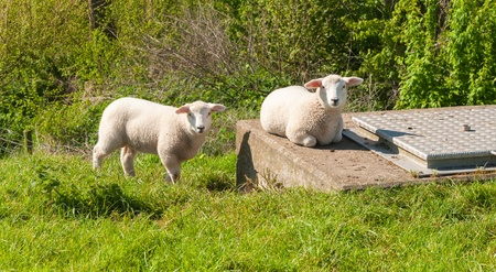 One lamb stands on the grass and the other one lies on a concrete pit. Stock Photo - 13450894
