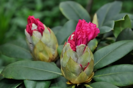 nascent: Opening red rhododendron buds in springtime  Stock Photo