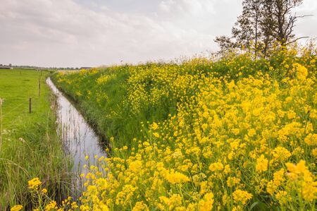 Rural Dutch landscape in spring with yellow flowering Wild Mustard and a reflecting ditch  photo