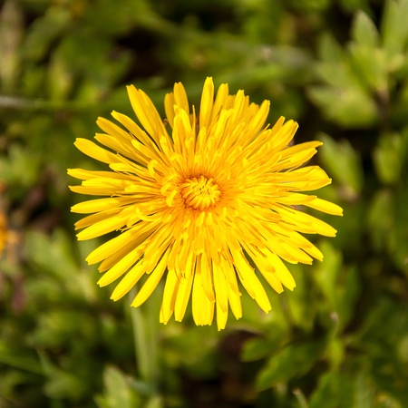 Closeup of a yellow flowering dandelion in its natural environment. photo
