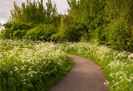 Curved path between  white blooming Cow Parsley. It is springtime. photo