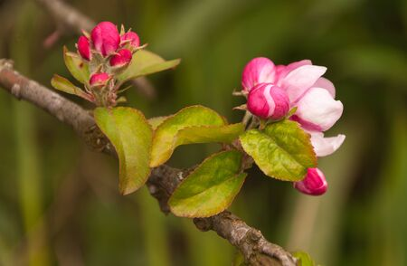 Buds and flowers of an old and wild apple tree in the Netherlands  photo