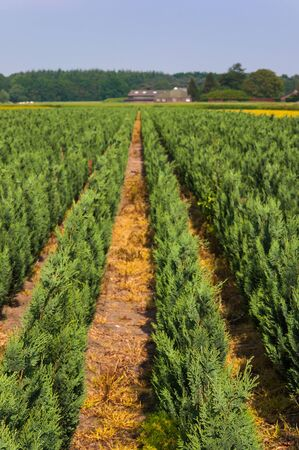 View on a Conifer nursery in the Netherlands Stock Photo - 13786898