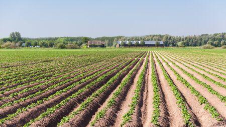 Dutch landscape with a potatofield and a farm  photo