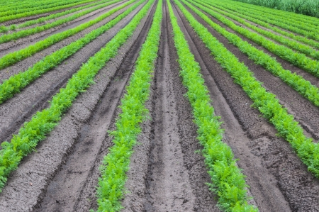 Rows of young and fresh carrot plants in springtime  Stock Photo - 13895863