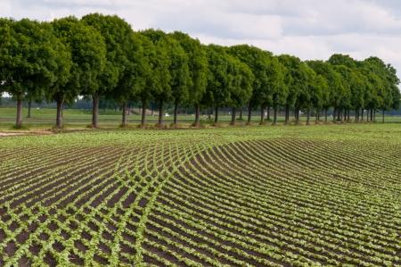 Nederlandse landschap met bomen en gebogen rijen van jonge planten