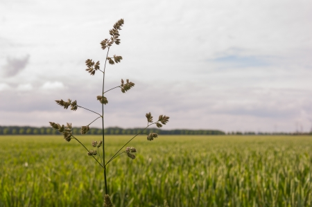 A flowering blade of grass protrudes far above the blurred cornfield  photo