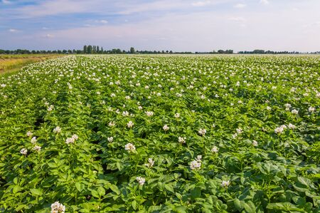 Potato plants with white and yellow flowers in a large field, Stock Photo - 14119842