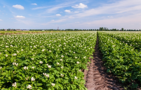 Flowering potato plants in a large field at the edge of a small village