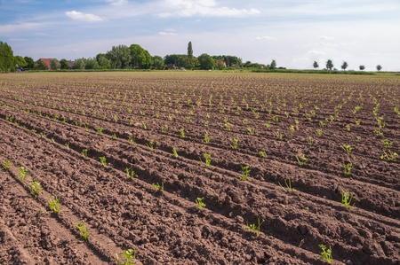 Landscape with young Celeriac plants in rows Stock Photo - 14119846