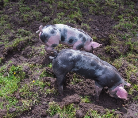 Two small Pietrain pigs with curly tails incessantly rooting in the mud Stock Photo