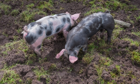 Two small Pietrain pigs with curly tails incessantly rooting in the mud photo