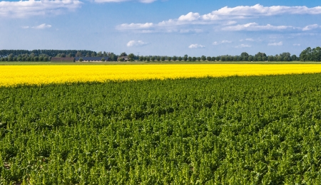 napus: Colorful Dutch landscape in spring Stock Photo