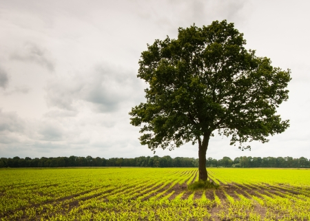 Large single tree in a field of young fodder maize plants  photo