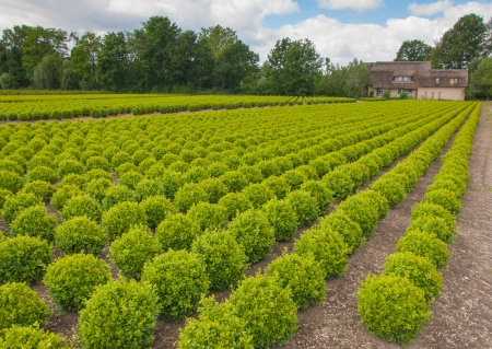 Tree nursery with many young buxus plants in rows