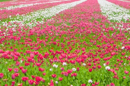 Dutch field full of poppies in various stages of growth  photo