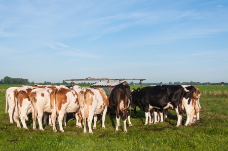 Tied cows in a row after milking  with the pasture milking machine early in the morning. photo