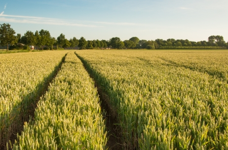 Dutch grain field with tractor tracks in the growing crop  photo