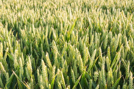 Field of young green wheat cultivated as an agricultural crop and whole cereal photo