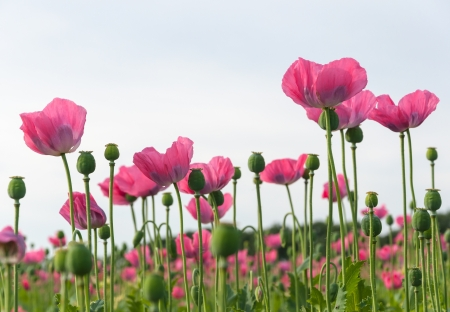 Pink flowering Papavers in different grow stages  photo