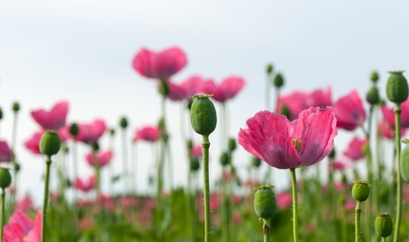 Pink flowering poppies and a blurred natural background  photo