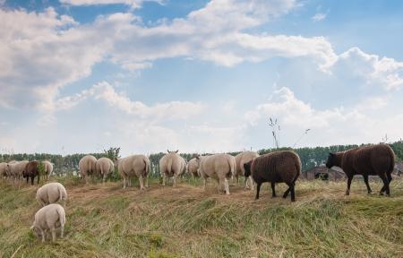 Als een schaap loopt op de dijk de rest zal volgen