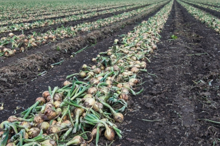 Crude mechanically harvested onions drying in rows on the Dutch arable