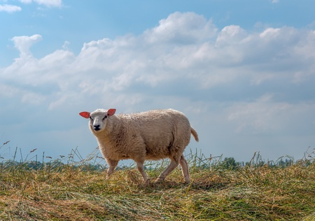 One curious sheep standing on a Dutch dike in summer  photo