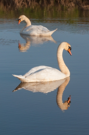 Proud swans surprised looking at their reflection on the smooth water surface  photo