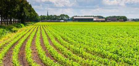 Farm and farmland in the Netherlands with rows of fodder maize plants Stock Photo - 14532303