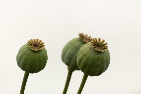 Composition of three  Poppy seed pods against a white background  photo