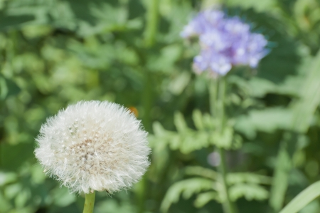 Dandelion seed head  against its blurred natural background on a wild field edge in the Netherlands  photo