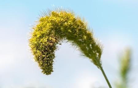 Close-up van een volwassen seedhead van de Vossestaart van gierst of Setaria Italica